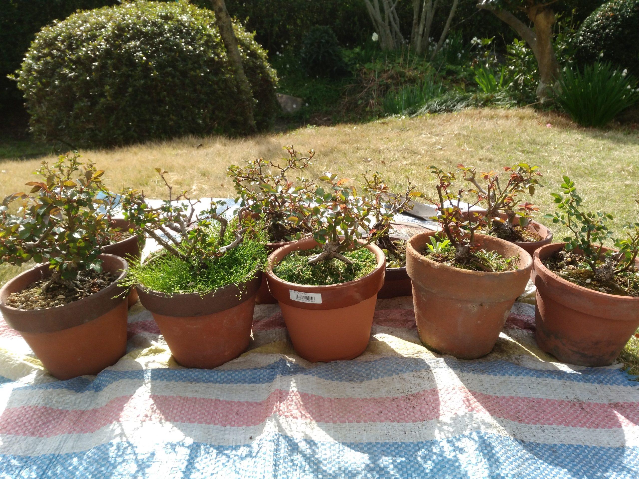 の 替え ミニバラ 植え 地植えのバラを移植しました!方法とコツ!