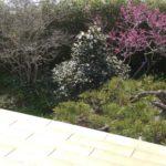 今年は咲かなかったシデコブシ