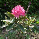 シャクナゲ 開花