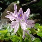 ホテイアオイ 開花