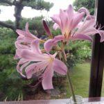 ナツズイセン(夏水仙)開花