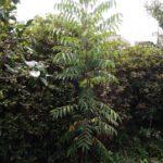 成長が早い木(ハゼノキ)