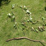 ヤブガラシの根