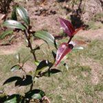 新芽が赤いツバキ