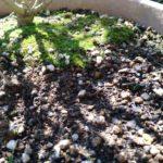 アネモネ 芽が出た