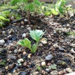 ラナンキュラス 芽が出た