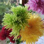 緑色の菊(アナスタシア)