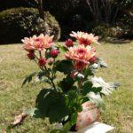 なぜか咲きだした菊