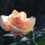 晩秋のバラたち