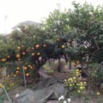伊予柑、レモンの収穫&剪定