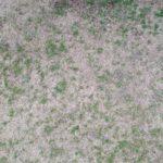 芝生の難防除雑草を駆除