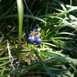 玉竜の青い実