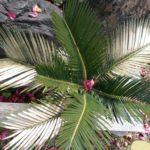 寒さ(霜)で傷んだ植物たち