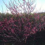 紅梅 開花