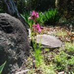 リナリア(姫金魚草)が去年のこぼれ種で咲きました