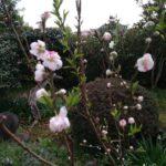 桃の花を食べる虫