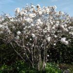 シデコブシ 桃の花 満開