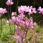 ミツバツツジ 開花