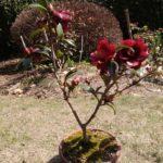 椿(ツバキ)の盆栽 開花