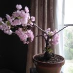 桜(旭山桜)の盆栽 満開