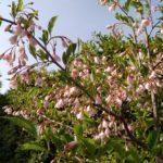 エゴノキ(ピンク) 開花