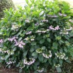 去年、地際で切ったガクアジサイ 開花