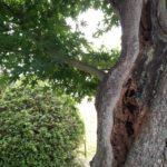 モミジの木に蟻の巣