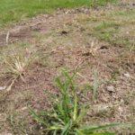 グリホサート系除草剤(ラウンドアップ)の実力