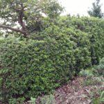 オオムラサキツツジの生垣の幅を詰める